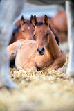 Foals lying on hay outdoors Stock Images