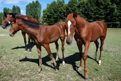 Foals and mare Stock Photo