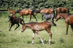 Foals and mares. Herd of foals and mares grazing in the pasture royalty free stock photos