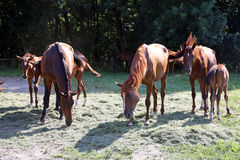 Foals and mares on horse ranch summertime. Thoroughbred gidran horses eating fresh mown grass on a rural horse farm when the sun goes down Stock Photography