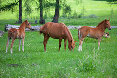 Foals in a meadow Royalty Free Stock Photography
