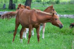 Foals in a meadow Royalty Free Stock Photos