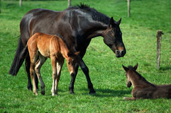 Foals and mother Stock Photography