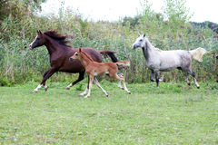 Foals nd mares running through the meadow summertime Royalty Free Stock Photo