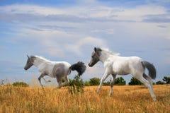 Foals o divertimento que corre no campo Imagens de Stock Royalty Free