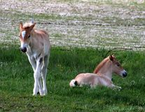 Foals in the pasture. Two foals in the pasture Royalty Free Stock Image