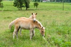 Foals in pasture, Austria Stock Images