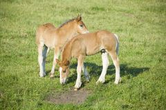Foals on a pasture Stock Photos