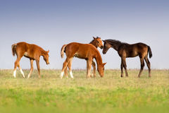 Foals on pasture Royalty Free Stock Photo