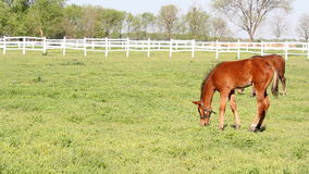 Foals on pasture. Young brown foals on pasture stock video