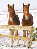 Foals In The Snow Royalty Free Stock Images