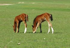 Foals in the steppe Royalty Free Stock Photos