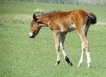 Foals in the steppe Stock Image