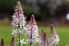Foam flowers, Tiarella cordifolia royalty free stock image