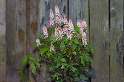 Foamflower or Tiarella with white blossoms. Foamflower or Tiarella with white blossoms in front of an old door in a cottage garden Royalty Free Stock Photo
