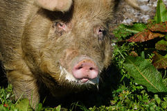 Foaming boar. Domestic free range boar foaming at the mouth, Westland, New Zealand Stock Photos