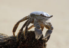 Foaming Crab. Stock Images