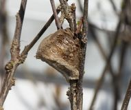 Side view of a Praying mantis nest on a dark brown bush. A foamy brown Praying mantis nest on a dark brown leafless bush. The egg sac is facing left and the royalty free stock photography