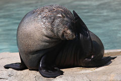 Foca Royalty Free Stock Photography