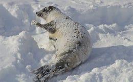 Foca de Groenlandia en la nieve, Quebec Fotos de archivo libres de regalías