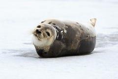 Foca della Groenlandia Immagine Stock Libera da Diritti