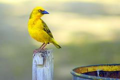 Focal Focus Photography of Perching Yellow and Blue Short-beak Bird Royalty Free Stock Image