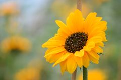 Focal point sunflower stock photography