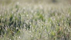 Focalisez la casserole tirée de l'herbe verte avec un bon nombre de gouttelettes d'eau pendant le matin L'herbe avec des baisses  clips vidéos