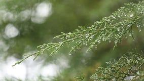 Focalisez le décalage de la feuille d'arbre, chute de baisses de pluie de début de la matinée banque de vidéos
