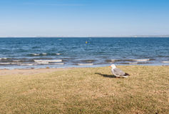 Focalize no pássaro solitário da gaivota que está a praia próxima com vagabundos borrados Fotografia de Stock Royalty Free