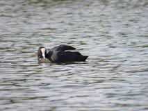 Focha, atra del Fulica - pájaro de agua negro con el pico blanco imagenes de archivo