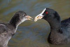 Focha australiana que alimenta el polluelo joven Foto de archivo