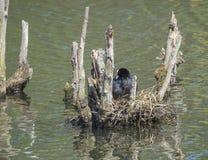 Focha común de la focha eurasiática del atra del Fulica que se sienta en el huevo en jerarquía en el lago imagen de archivo