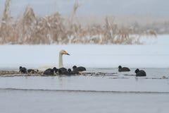 Focha del cisne y del eurasiático de Whooper en winte imagenes de archivo