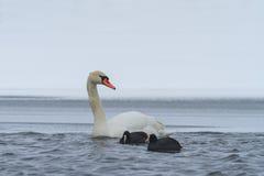 Focha del cisne y del eurasiático de Whooper en invierno Imagen de archivo libre de regalías