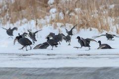 Focha eurasiática en invierno Fotos de archivo