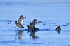 Focha eurasiática en invierno en el hielo Fotografía de archivo libre de regalías