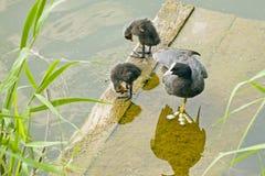 Focha-madre con dos polluelos mullidos en el puente cerca del agua Imagen de archivo
