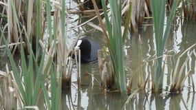 Focha que oculta en cañas en una mañana 3 de la primavera foto de archivo libre de regalías