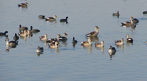 Fochas comunes y patos Punto-cargados en cuenta, lago Randarda, Rajkot imagenes de archivo