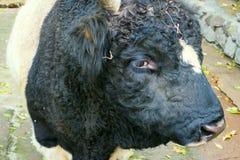 Focinho bonito do touro Imagem de Stock