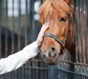 Focinho carresing do cavalo da mão humana Imagem de Stock