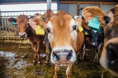 Focinho da vaca da raça do jérsei na tenda livre dos rebanhos animais Feche acima da vista Fotografia de Stock
