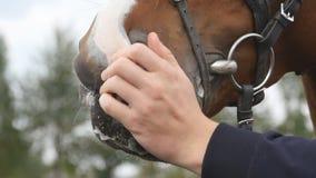 Focinho de alimentação e de acariciamento da mão masculina de um cavalo Braço da cara do afago e das trocas de carícias do ser hu filme