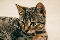 Focinho de um close-up do gato Imagens de Stock