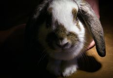 Focinho de um cordeiro de orelhas caídas da raça branco-marrom do coelho em um fundo preto Foto de Stock