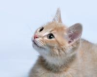 Focinho de um fim pequeno do gatinho do gengibre vermelho acima Fotos de Stock