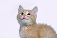 Focinho de um fim pequeno do gatinho do gengibre vermelho acima Foto de Stock