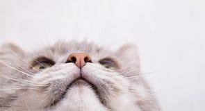 Focinho de um gato cinzento, vista inferior Imagens de Stock
