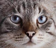 Focinho de um gato listrado de olhos azuis Imagem de Stock